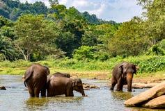 Elefanten im Fluss auf Sri Lanka Stockfotografie
