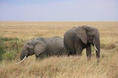 Elefanten im langen Gras Stockfotografie
