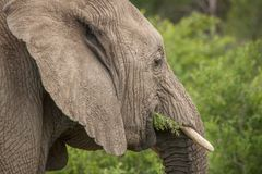 Elefanten im wilden in Kwazulu Natal Lizenzfreie Stockbilder