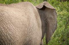 Elefanten im wilden in Kwazulu Natal Stockfotografie