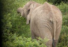 Elefanten im wilden in Kwazulu Natal Stockbild