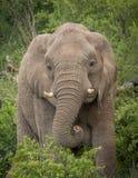Elefanten im wilden in Kwazulu Natal Lizenzfreies Stockfoto