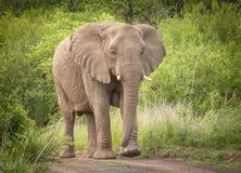 Elefanten im wilden in Kwazulu Natal Lizenzfreies Stockbild