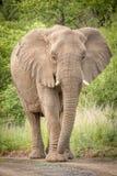 Elefanten im wilden in Kwazulu Natal Lizenzfreie Stockfotos