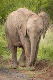 Elefanten im wilden in Kwazulu Natal Stockfotos
