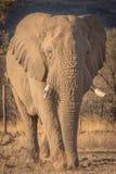 Elefanten im wilden in Kwazulu Natal Lizenzfreie Stockfotografie