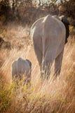 Elefanten im wilden in Kwazulu Natal Stockbilder