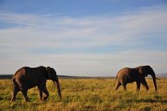 Elefanten in Kenia Stockfotografie