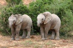 elefanten kopplar samman Arkivfoton