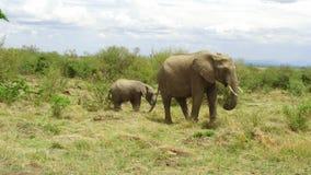 Elefanten med behandla som ett barn eller kalven i savann på africa stock video