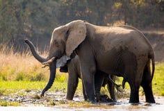 Elefanten med behandla som ett barn nära Zambeziet River zambia Fäll ned den Zambezi nationalparken Zambezi River Royaltyfri Foto