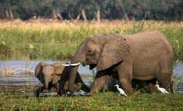 Elefanten med behandla som ett barn nära Zambeziet River zambia Fäll ned den Zambezi nationalparken Zambezi River Royaltyfria Bilder