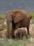 Elefanten med dess behandla som ett barn i Afrika Arkivfoto
