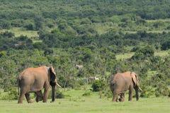 Elefanten, Nationalpark Addo Elefanten, Südafrika Stockbild