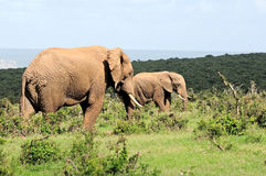 Elefanten, Nationalpark Addo Elefanten, Südafrika Stockfoto
