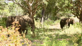 Elefanten in Nationalpark Yala, Sri Lanka stock video footage