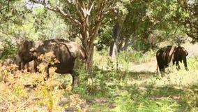 Elefanten in Nationalpark Yala, Sri Lanka stock video