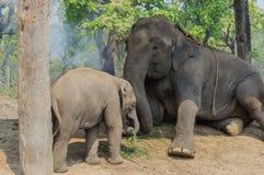 Elefanten och behandla som ett barn elefanten i nationalpark av Nepal Royaltyfri Fotografi