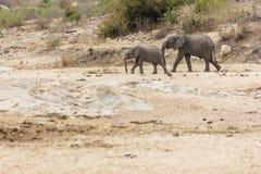 Elefanten och kalven som korsar en torr flodbädd i, parkerar arkivbild