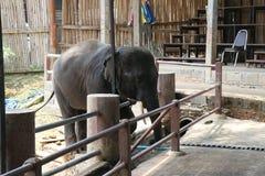 ELEFANTEN PÅ MAETANG-ELEFANTEN PARKERAR I CHIANG MAI, THAILAND royaltyfria foton