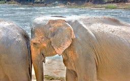 Elefanten am Pinnawala-Elefant-Waisenhaus, Sri Lanka Lizenzfreie Stockfotografie