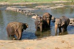 Elefanten sind, waschend badend und im Fluss, lizenzfreies stockfoto