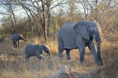 Elefanten som går modern, behandla som ett barn behandla som ett barn savannahen Arkivfoton