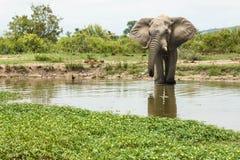 Elefanten som tar prov vattnet på ett bevattna hål i, parkerar royaltyfri foto