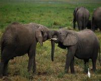 Elefanten am Spiel stockbild