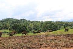 Elefanten in Sri Lanka stockbild