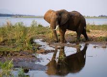 Elefanten står bredvid Zambeziet River med reflexion i vatten zambia Fäll ned den Zambezi nationalparken Zambezi River Royaltyfria Foton