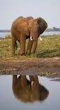 Elefanten står bredvid Zambeziet River med reflexion i vatten zambia Fäll ned den Zambezi nationalparken Zambezi River Royaltyfri Bild