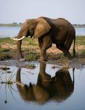 Elefanten står bredvid Zambeziet River med reflexion i vatten zambia Fäll ned den Zambezi nationalparken Zambezi River Arkivbilder