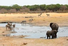 Elefanten um ein waterhole mit Kudu und Zebra in Nationalpark Hwange lizenzfreie stockfotografie