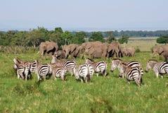 Elefanten und Zebras Stockfotografie
