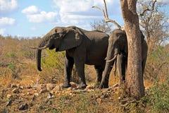 Elefanten w obozie Obraz Royalty Free