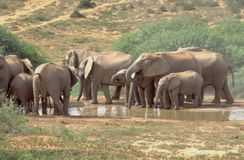 Elefanten am Wasser ganz in Addo Elefant National Lizenzfreie Stockbilder