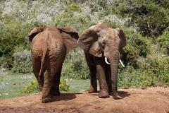 Elefanten ziehen sich zurück und konfrontieren Lizenzfreies Stockfoto