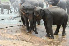 Elefanten zwei in Sri Lanka stockfoto