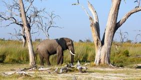 Elefantenbulle Royalty Free Stock Image