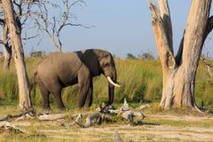 Elefantenbulle Royalty Free Stock Photography