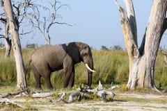 Elefantenbulle Stock Photo