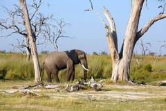 Elefantenbulle Stock Photography
