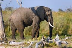 Elefantenbulle Stock Images