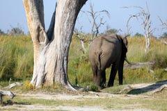 Elefantenbulle Stock Photos