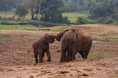 Elefantenkälber Stockfotos