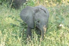 Elefantenkalb Lizenzfreie Stockfotografie