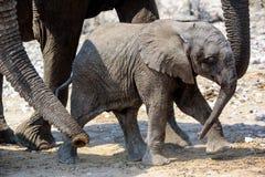 Elefantenkalb auf dem Marsch Stockbilder