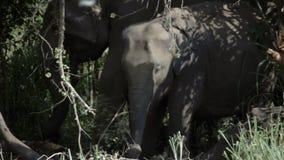 Elefantenkalb, das mit der Mutter weiden lässt stock video