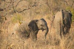 Elefantenkalb nach Mutter Lizenzfreies Stockfoto